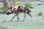 Adult female Painted Hunting Dog (Lycaon pictus). South Luangwa National Park, Zambia.