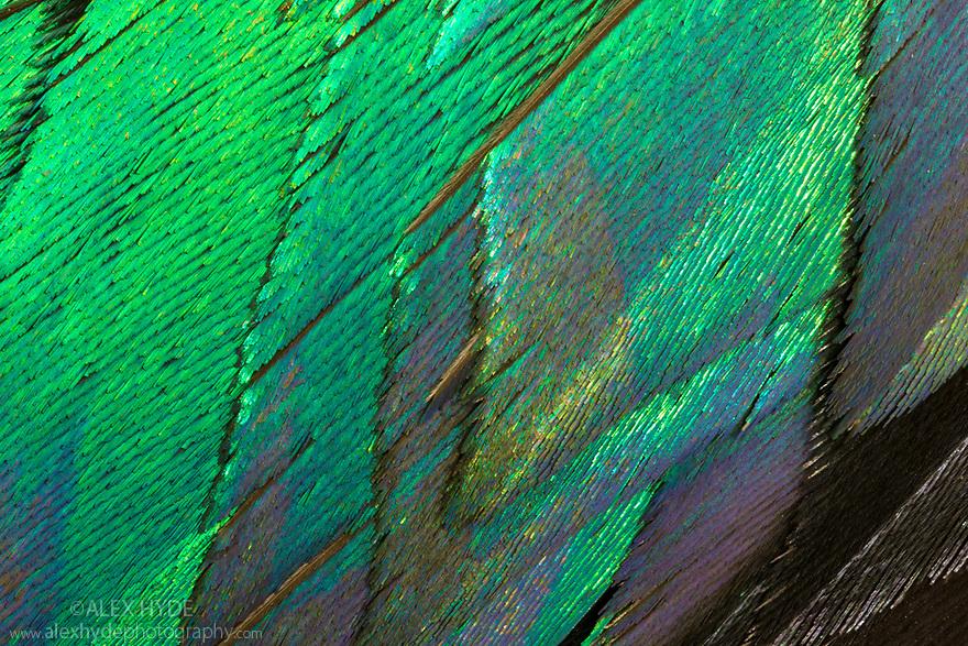 Himalayan Monal Pheasant (Lophophorus impejanus) feather detail. Museum specimen, originating from the Himalayas. website
