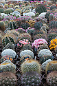 """16/05/16 <br /> <br /> Britain's biggest cactus grower attributes the recent hot weather for his current winning streak at national flower shows, something he hopes to repeat later this month at RHS Chelsea.<br /> <br /> Full story here:  http://www.fstoppress.com/articles/winning-streak-for-blooming-cactus/<br /> <br /> .But a few days ago it was almost too hot for his prickly blooms and he had to pump in cooler air from outside to cool down his giant 22,000 sq ft greenhouse.<br /> <br /> And now, as you enter the greenhouse, you're met with a brilliant display of colour, almost every cactus is in full bloom, a patchwork of bright yellow and orange, subtle pinks and deep red flowers.<br /> <br /> """"There's probably about one hundred thousand plants in here, and most of them are already showing flowers,"""" said owner Bryan Goody, who runs the nursery with his wife Linda and daughter Eleanor.<br /> <br /> <br /> All Rights Reserved: F Stop Press Ltd. +44(0)1335 418365   +44 (0)7765 242650 www.fstoppress.com"""