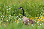 Canada goose standing in a field of wildflowers in northern Wisconsin.