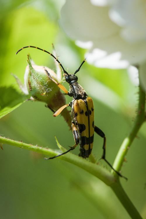Longhorn beetle (Strangalia maculata) on rose, mid July.