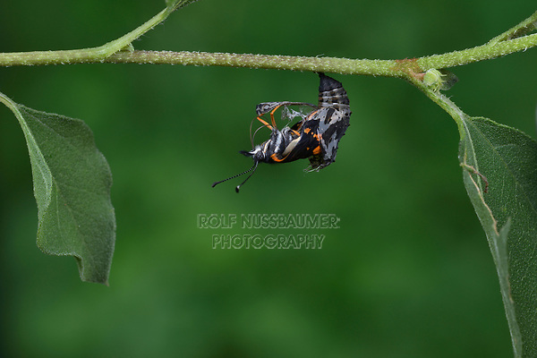 Bordered Patch (Chlosyne lacinia), butterfly emerging from chrysalis on Common Sunflower (Helianthus annuus), series, Hill Country, Central Texas, USA