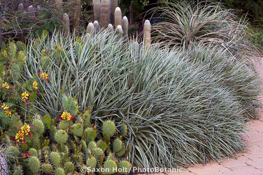 Puya venusta silver foliage bromeliad with Erythrostemon gilliesii, Yellow Bird-of-Paradise with Los Angeles County Arboretum