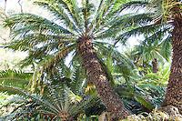 Cycads, Cycas revolulta (king sago, sago cycad, Japanese sago palm) and Encephalartos transvenosus. prehistoric plants at Huntington Botanic Garden, southern California