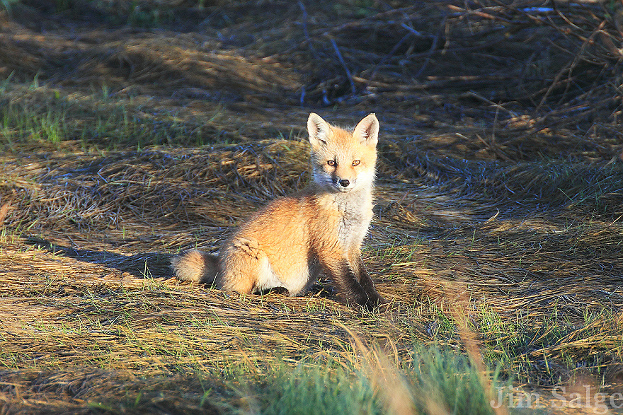 A fox kit stares at the crowd at Salisbury Beach State Reservation in Massachusetts