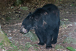 American black bear 45 degrees towards camera looking left full body view.