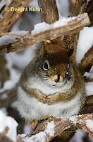 MA07-503z  Red Squirrel, in winter, Tamiasciurus hudsonicus