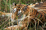 A Royal Bengal tigress sits almost hidden in long grass at Bandhavgarh National Park in Madhya Pradesh, in central India. The Park boasts one of the most densely populated tiger areas in India drawing tourists from the world over to go on safari. Chital, leopards, Langur monkeys and abundant bird life also thrive here in the parks wetlands and grassy plains. The Park closes for monsoon from July 1 to October 1.