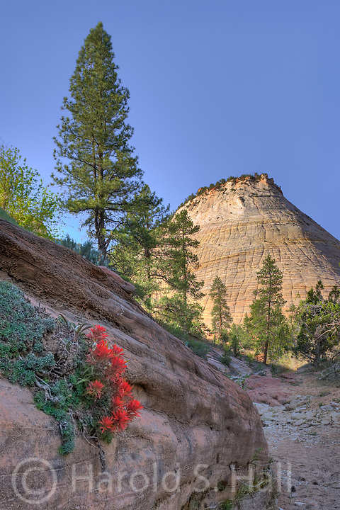 Behind a blooming Indian paintbrush flower is the Zion National Park landmark, Checkerboard Mesa.