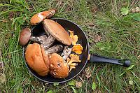 Pilz-Ernte, Pilzernte, gesammelte Pilze in einer Pfanne, Outdoor, Rotkappe, Birken-Rotkappe, Leccinum versipelle und Echter Pfifferling, Eierschwamm, Cantharellus cibarius und Birkenpilz, Ernte