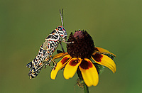Painted Grasshopper, Dactylotum bicolor , adult on Clasping-leaved Coneflower (Dracopis amplexicaulis) , Welder Wildlife Refuge, Sinton, Texas, USA