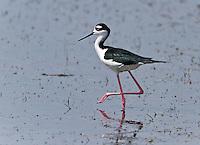 Black-necked Stilt standing in water with one foot up