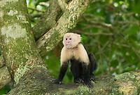 White-faced Capuchin, Cebus capucinus, in a tree in Manuel Antonio National Park, Costa Rica