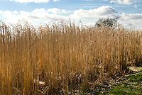 Miscanthus x giganteus biomass biocrop in winter