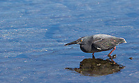 Lava herons are quite small, and often seen scurrying about the beaches and rocky shorelines of the Galapagos Islands.  This one is standing still waiting for a fish to swim by.