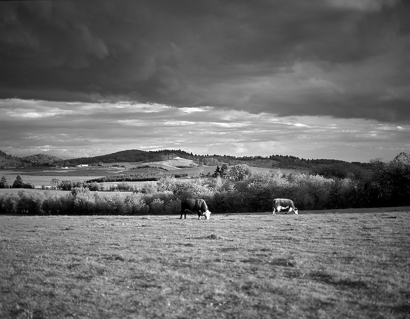 Cow and bull cattle in pasture. Near Alpine, Oregon.