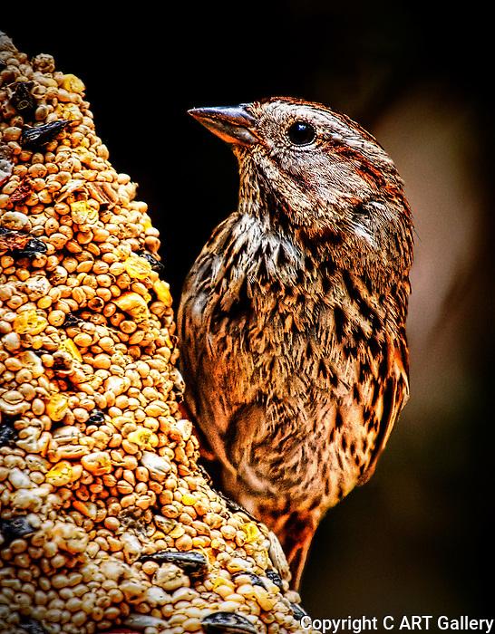 Backyard Sparrow 2, Newport Beach, CA.