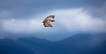 Eagles picture with stunning mountain views - in Scotland! By Dani Connor