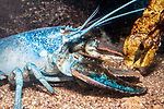 Northern Lobster blue color phase medium shot facing right