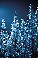 Falling snow over spruce trees, Fairbanks, Alaska.