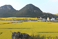 Luoping, Yunnan. The village of Jinji Lin is the site the most well-known for a stroll through the rape flowers. On the top of the hill above the village, the Buddhist temple offers a superb panoramic view over the Hills of the Golden Rooster.