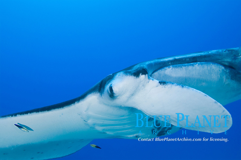 reef manta ray, Mobula alfredi, is attended by Hawaiian cleaner wrasses, Labroides phthirophagus (endemic species) at cleaning station, Honokohau, Kona, Hawaii (the Big Island), Hawaiian Islands, USA, (Central Pacific Ocean)