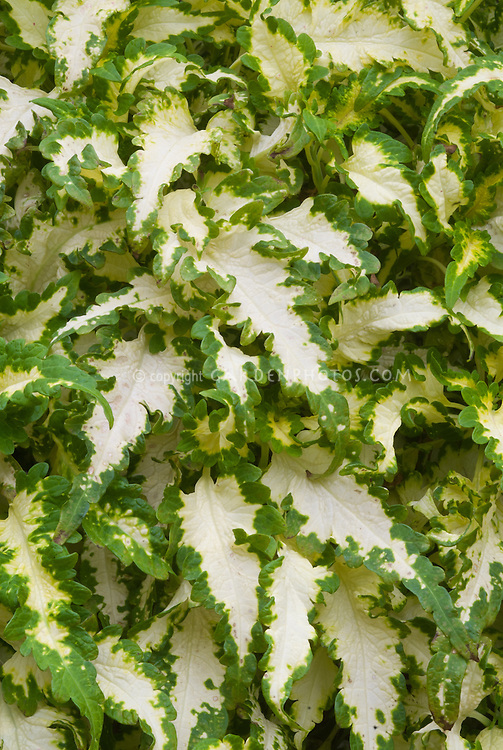 Solenostemon (Coleus) 'Cream Pheasant', annual foliage plant with long green edged leaves with white centers, ornamental plant