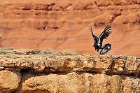 California Condor (Gymnogyps californianus) landing along Marble Canyon rim (Colorado River), Grand Canyon National Park, Arizona.