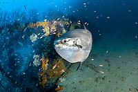 ocean sunfish, Mola mola, Traliccio dive site, Capri Island, Sorrento Peninsula, or Sorrentine Peninsula, Amalfi Coast, Italy, Tyrrhenian Sea, Mediterranean Sea, Atlantic Ocean
