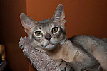 Cat - Abyssinian