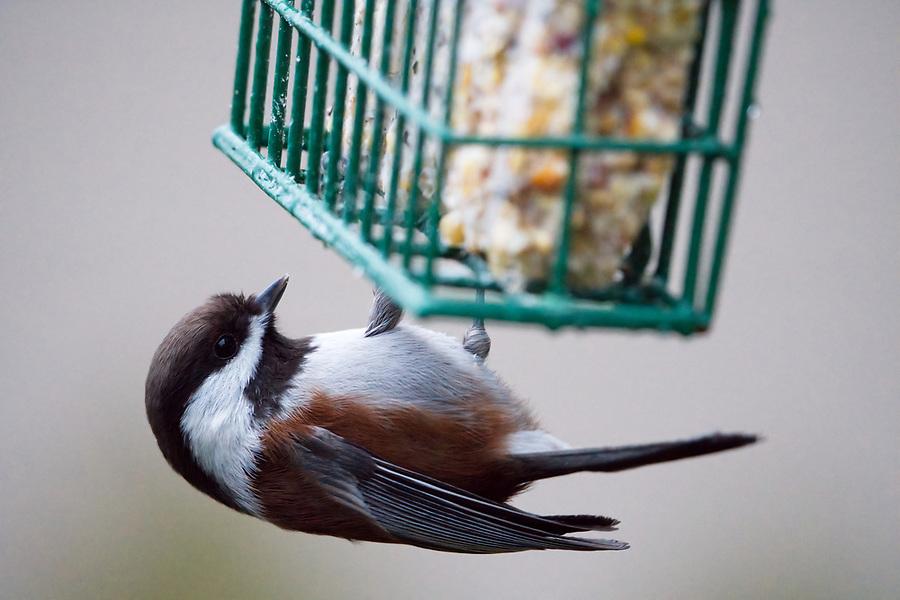 Chestnut-backed chickadee on suet feeder, Snohomish, Washington, USA