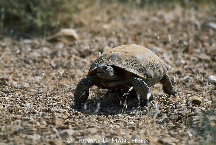 A tortoise walks through brush.