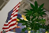 Marijuana plants and the American flag<br /> Rome February 21st 2020. Hemp Fair Canapa Mundi Rome 2020.<br /> Photo Samantha Zucchi Insidefoto