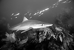 San Clemente Island, Channel Islands, California; Soupfin Shark (Galeorhinus galeus), Eastern Pacific Ocean, also known as Tope, temperate oceans worldwide, fished commercially and used in sharkfin soup