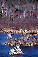 Cariboo Chilcotin Region, BC, British Columbia, Canada - Beaver (Castor canadensis) Lodge House in Pond