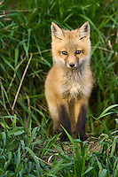 Red Fox Kit standing in the tall grass outside its den