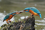 LOVE BIRDS - Kingfishers share supper as they pass a fish by John Scamell
