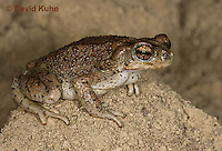 1101-0811  Adult Red-spotted Toad in Desert (Southwestern United States), Anaxyrus punctatus, formerly Bufo punctatus  © David Kuhn/Dwight Kuhn Photography.