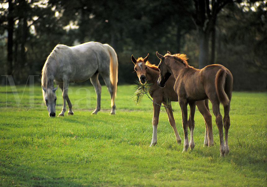Two Arabian foals play with pine bough, with horse grazing in background.