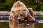 USA, Alaska, Katmai National Park, brown bear (Ursus arctos) takes a break from salmon fishing