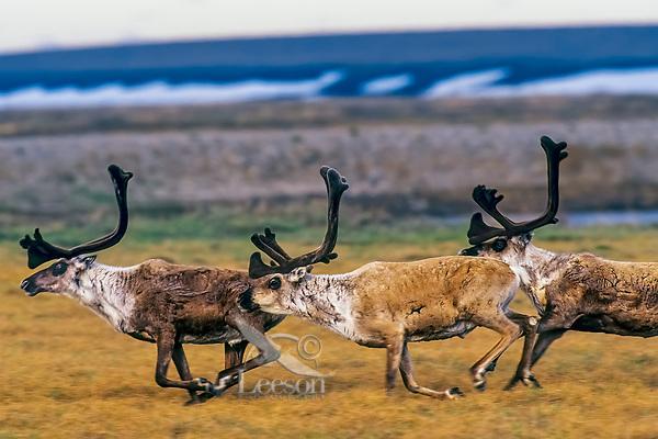 Barren ground caribou (Rangifer tarandus) bulls on arctic coastal plain, Northern Alaska, Summer.
