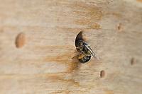Rote Mauerbiene, Rostrote Mauerbiene, Mauerbiene, Mauer-Biene, Weibchen, Nestverschluß, Nestverschluss, Loch wird mit Sand, Lehm und Erde verschlossen, Nest, Neströhre, Niströhren, Wildbienen-Nisthilfe, Wildbienennisthilfe, Osmia bicornis, Osmia rufa, red mason bee, mason bee, female, L'osmie rousse, Mauerbienen, mason bees. Wildbienen-Nisthilfe aus Holz, Längsholz, Hartholz, Wildbienen-Nisthilfe selbermachen, selber machen, Wildbienenhotel, Insektenhotel, Wildbienen-Hotel, Insekten-Hotel