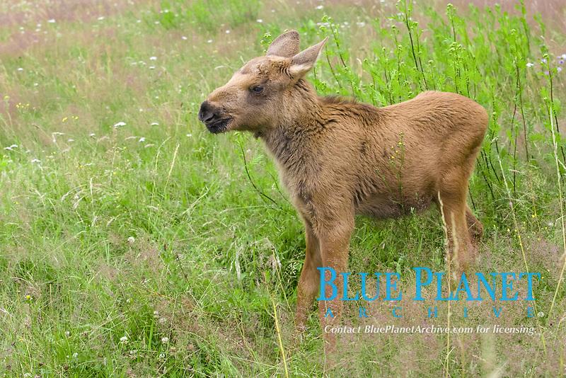 Young Moose (Alces alces)