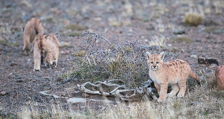 During this tour we encountered mother pumas with one, two, three and four cubs of various ages. These youngsters were estimated to be 4-5 weeks old, yet they weren't too shy in our presence. What a treat to see them up close!
