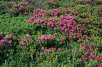 Hairy Alpine Rose, Rhododendron hirsutum, blooming, Ritom, Tessin, Switzerland