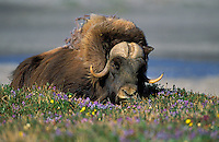 Muskox in tundra flowers.<br /> Arctic National Wildlife Refuge, Alaska.<br /> Summer. Ovibos moscchatus.