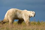 Polar Bear (Ursus maritimus) in tundra vegetation in evening light. Shores of Hudson Bay, Canada in late September.