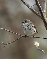 Yellow-rumped Warbler, Flowering Dogwood Tree in March.