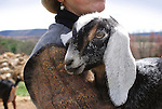 Nubian goats, Steam Valley Fiber Farm