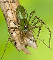 "0205-07qq  Green Lynx Spiderling  - Peucetia viridans  ""Eastern Variation"" - © David Kuhn/Dwight Kuhn Photography"
